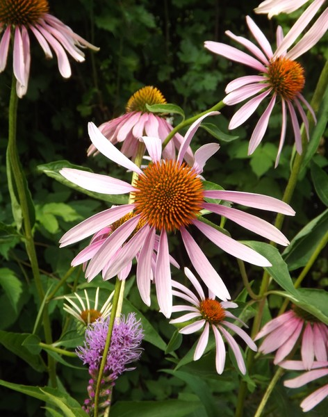Amongst The Cone Flowers