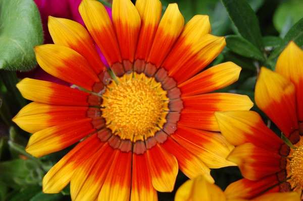 striking gazania