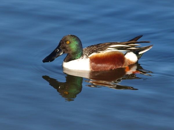 Shoveler Reflection