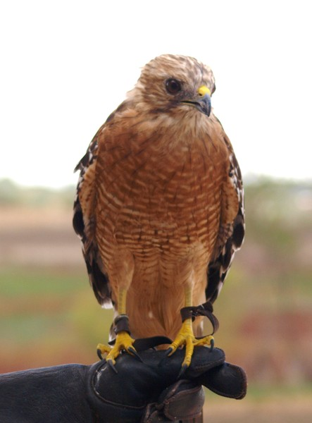 Red-Shouldered Hawk 119