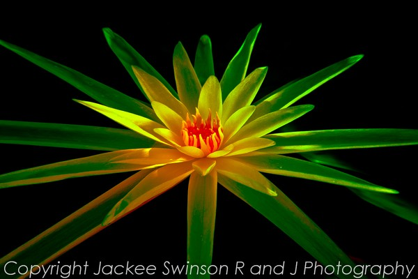 Abstract Lily