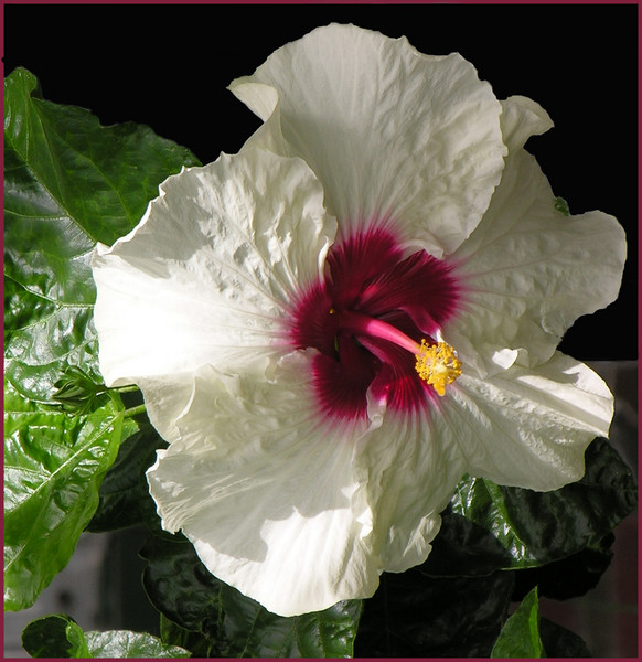 Sunday Hibiscus 3