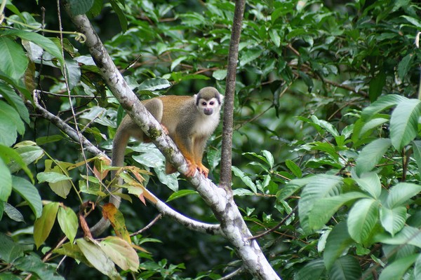 Squirrel Monkey in the Jungle