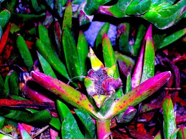 Multi-color ice plant