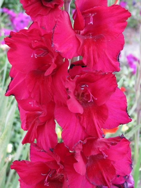 Burnt red Glads