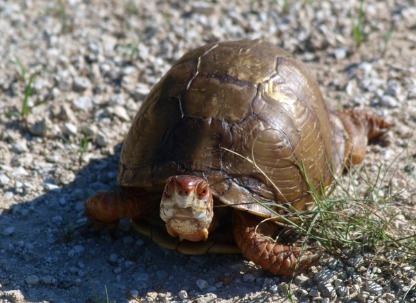 Spring Creek Box Turtle