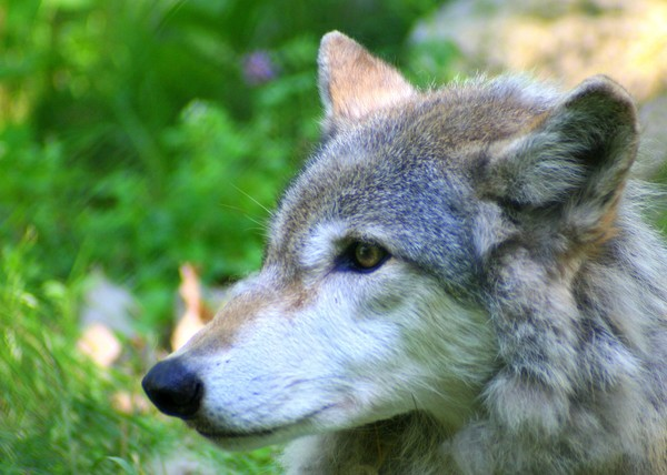 Timber wolf on alert