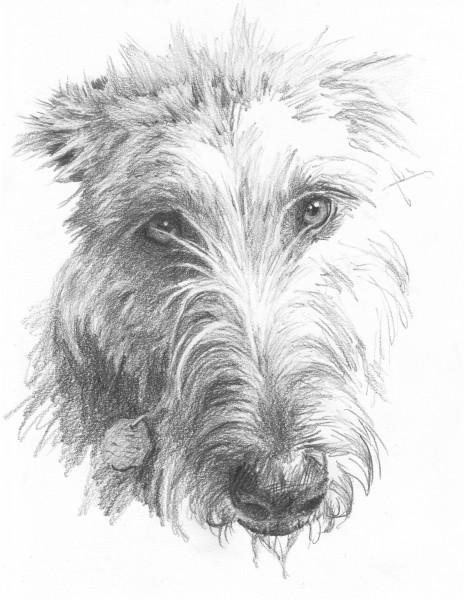 wolf hound pencil portrait