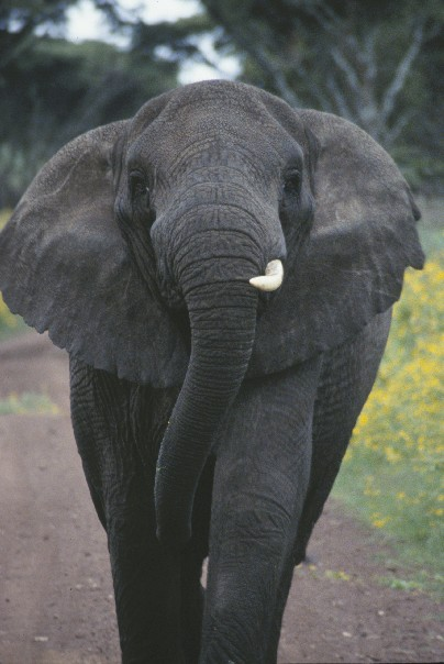Charging elephant