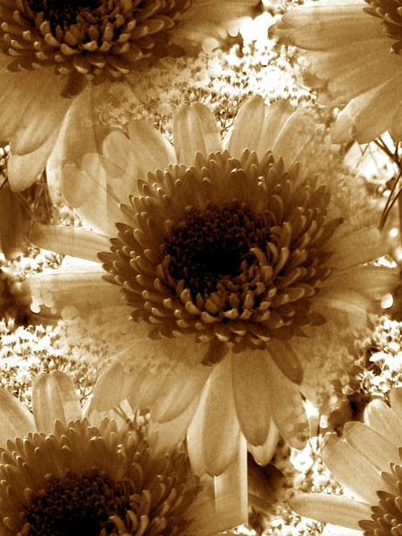 Earth Toned Gerberas (Three)