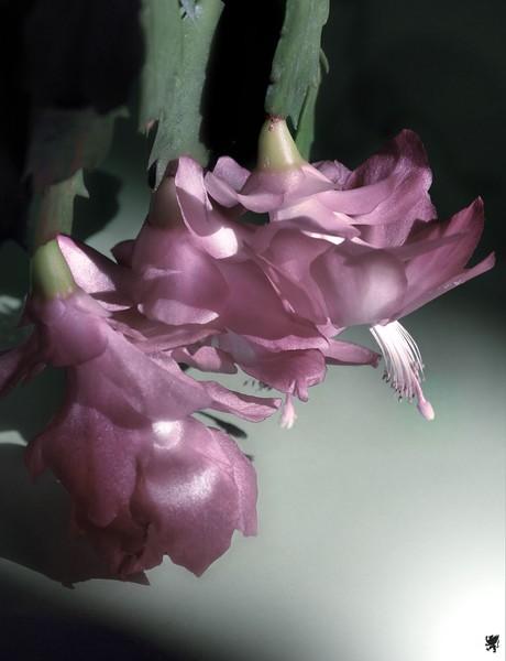 CACTUS FLOWER # 1