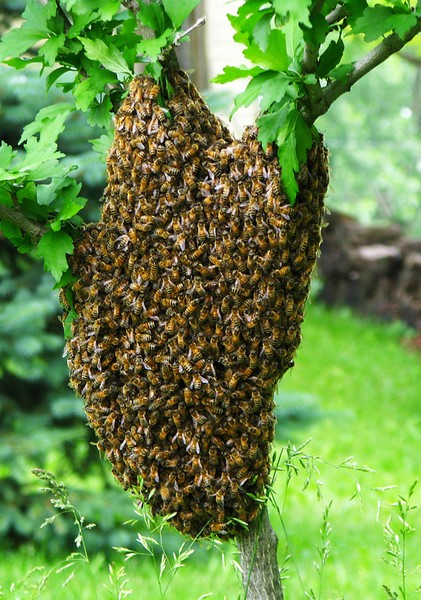 Bee swarm