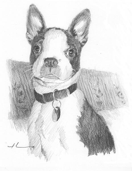 wp-lg boston terrier drawing