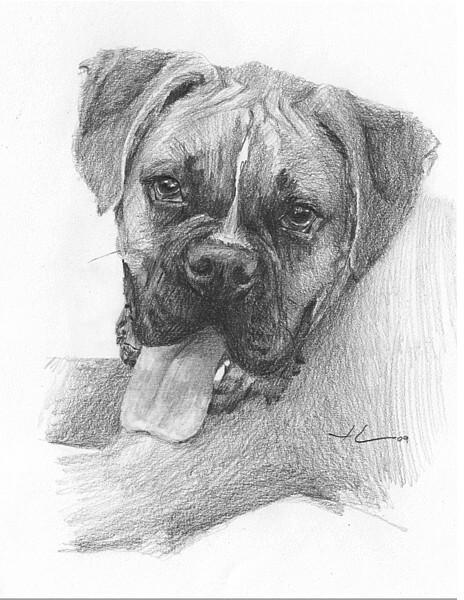 wp-lg boxer dog drawing