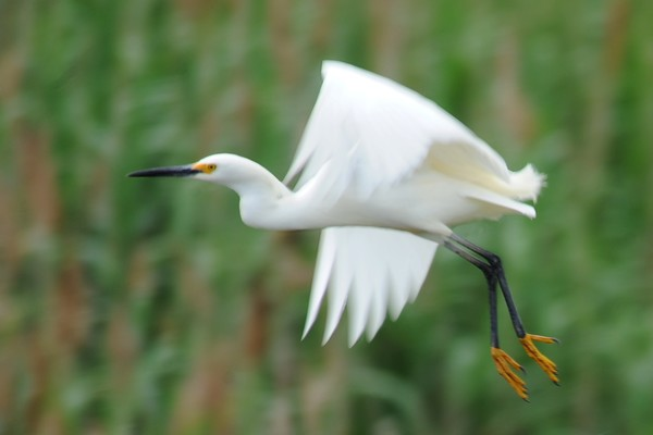Snowy Egret in Flight