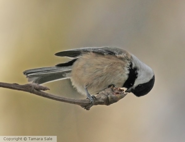 Chickadee in action