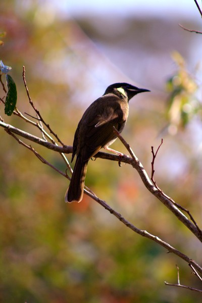 Lewins Honeyeater