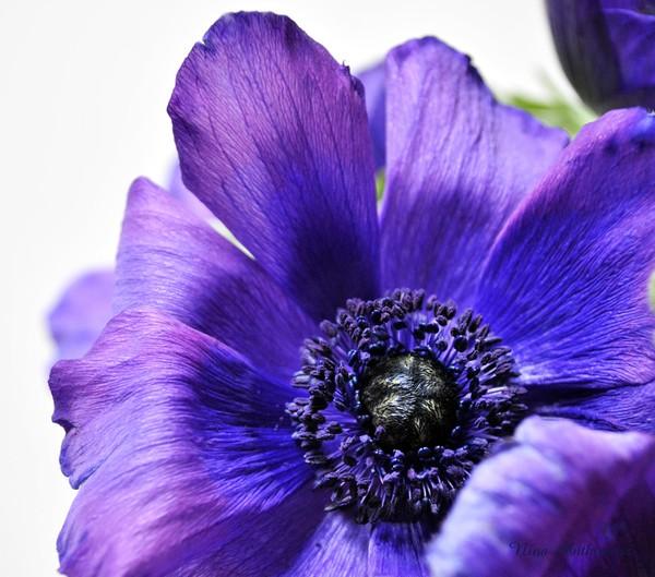 Violet purple indigo Anemone