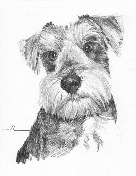 wp-lg schnauzer dog drawing