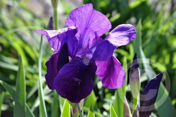 Iris 4/28/2012