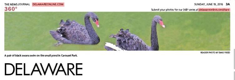 301st News Journal Panorama-Black Swans