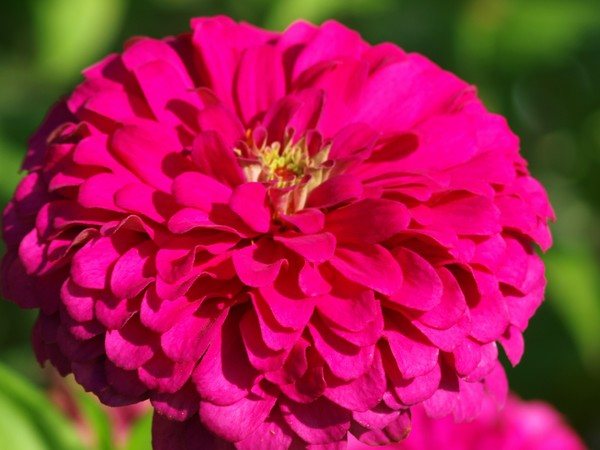 Hot Pink Zinnia
