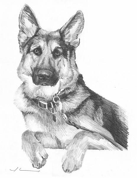 german shepherd pencil portrait