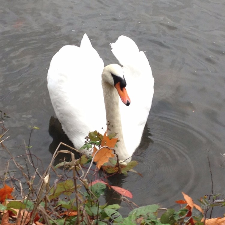 Lost Lagoon swan