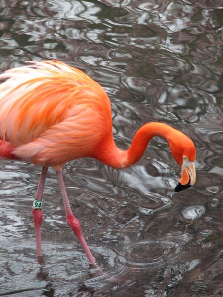 American Flamingo posing again