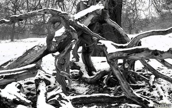 SNOWY DEAD WOOD