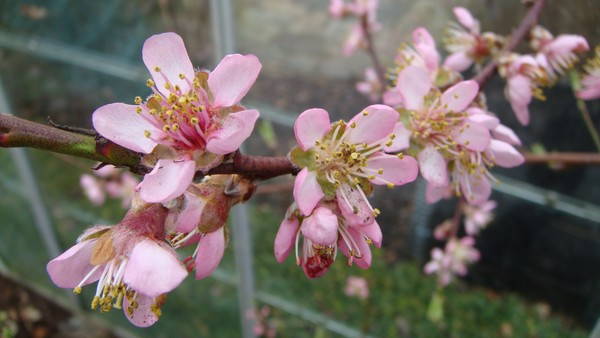 nectarine flower