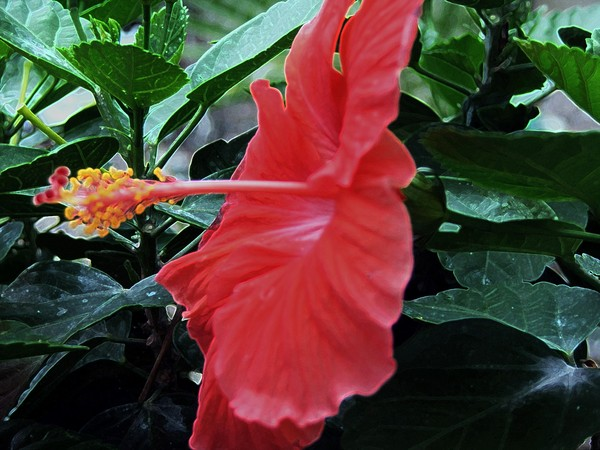 coral hibiscus effects