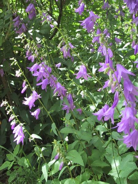 Violet lanterns