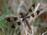 Common Whitetail Female Dragonfly