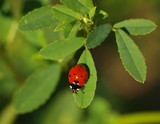 March Ladybug