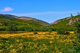 Valley full of buttercups !
