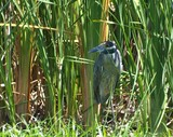 Yellow-Crowned Night-Heron 118