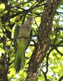 Monk Parakeet 015