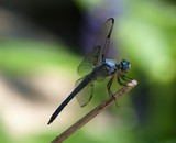 Great Blue Skimmer 067