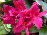 Scarlet Orchids