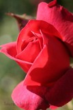 Sunlit Rose