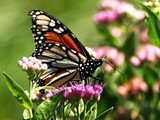 Monarch Butterfly 020