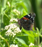 Red Admiral 29