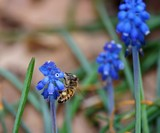 yummy grape hyacinths