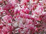 Magnificent Magnolias
