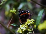 Red Admiral 21 Macro