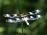 Twelve-Spotted Skimmer, JRL