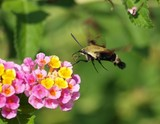 Snowberry Clearwing 058