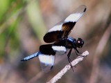 Male Widow Skimmer 39