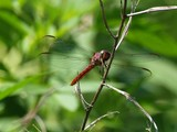 Roseate Skimmer 168, WRL
